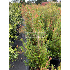 Acmena Cherry Surprise Large 300Mm Pot Plants