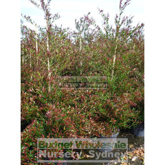 Acmena Smithii Minor Red Tip Large 300Mm Pot Plants