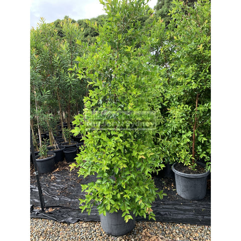 Acmena Smithii XXLarge 500mm / 75L Pot