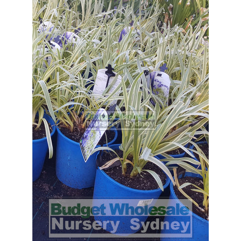 Agapanthus Gold Strike 175mm
