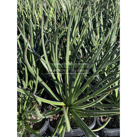 Agave geminiflora 150mm Pot
