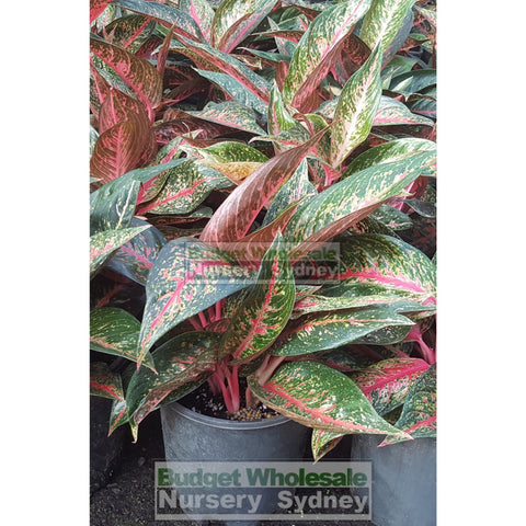 Aglaonema Hybrid 200mm