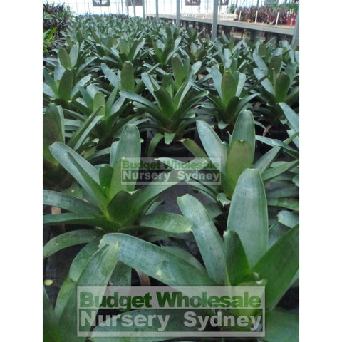Alcantarea Silver Plum 300mm pot Large Giant Bromeliad