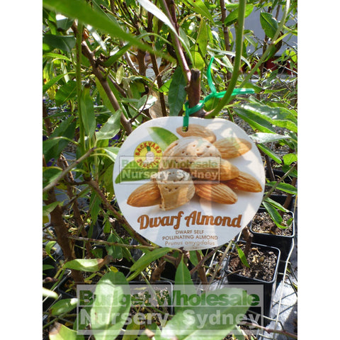Almond Self Pollinating Dwarf 4ltr