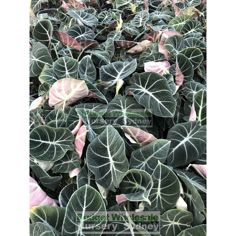 Alocasia Black Velvet (Taro) 200Mm Pots Plants
