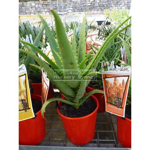 Aloe Species 175Mm Pots Default Type
