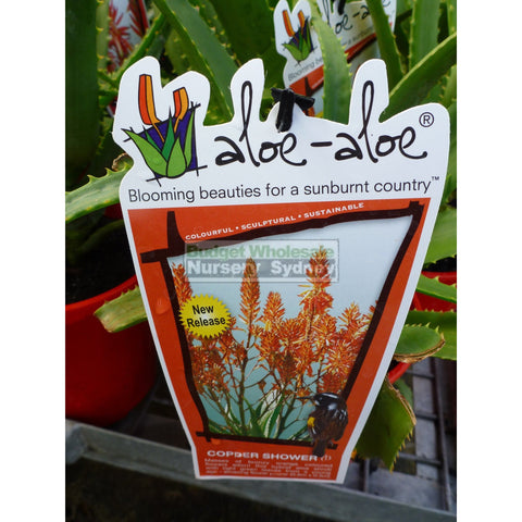 Aloe Species 175mm pots