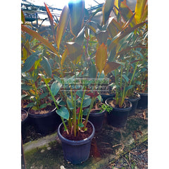 Alpinia Redback 300Mm Pots Default Type