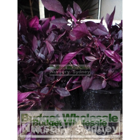 Alternanthera Little Ruby Large 170mm Pots