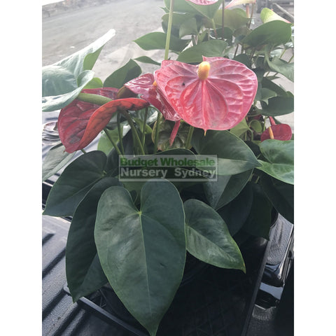 Anthurium Large 250Mm Pot Indoor House Plant Default Type