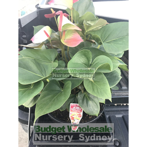 Anthurium Large 250mm pot Indoor House Plant