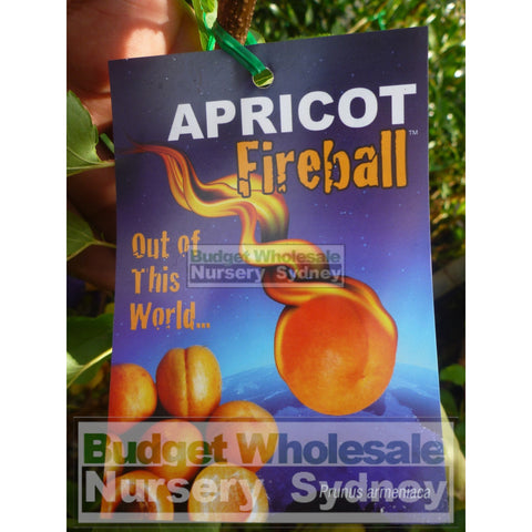 Apricot Tree Fireball 4Ltr Default Type