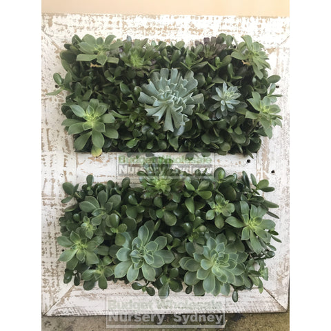 Assorted Succulent Plants in Frame Large -  700mm x 600mm Living wall Picture Frame