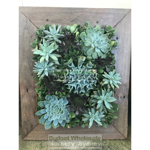 Assorted Succulent Plants in Frame Medium -  500mm x 600mm Living wall Picture Frame