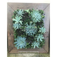 Assorted Succulent Plants In Frame Medium - 500Mm X 600Mm Living Wall Picture Default Type