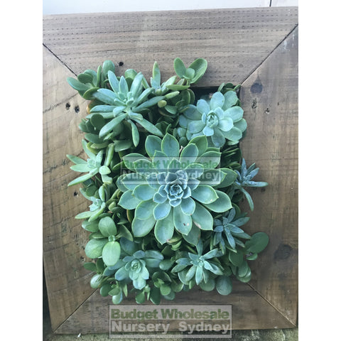 Assorted Succulent Plants In Frame Small - 400Mm X 500Mm Living Wall Picture Default Type