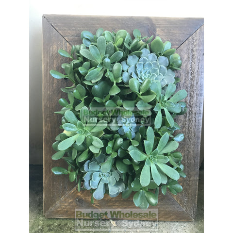 Assorted Succulent Plants in Frame Small - 400mm x 500mm Living wall Picture Frame