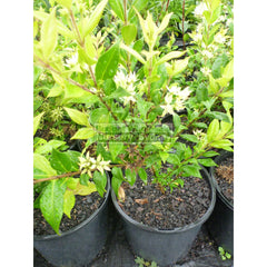 Backhousia Myrtifolia 200Mm Pots Plants