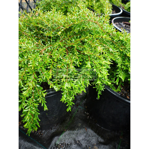 Baeckea Virgata Dwarf 140Mm Pots (Babingtonia) Gift Card