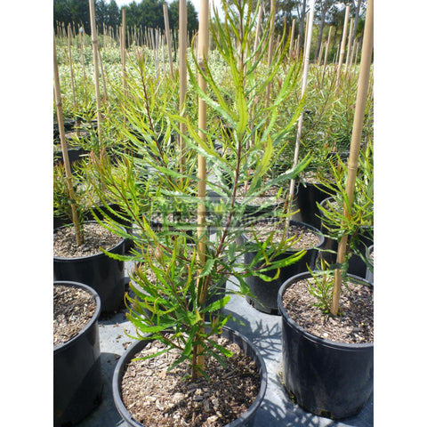 Banksia Spinulosa 140Mm Pot Plants