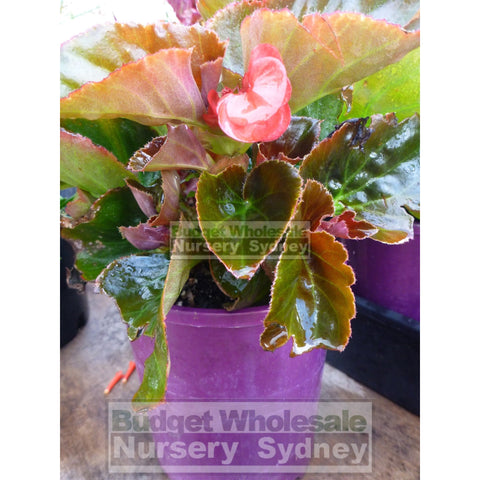 Begonia semperflorens bronze leaf 140mm