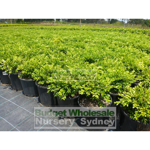 Buxus Microphylla X [Korean Box] 140Mm Pot Plants