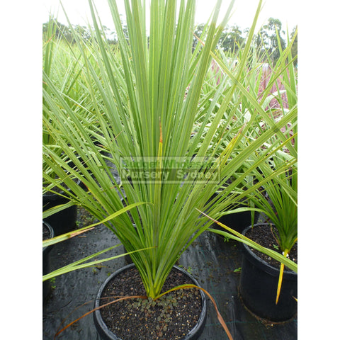 Cabbage Tree 300mm Pot Cordyline Australis