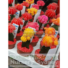 Cactus Grafted 70Mm Pot Mixed Colours Only Default Type
