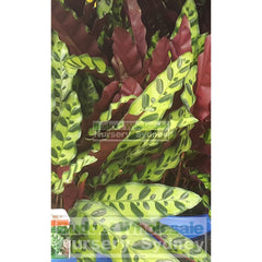 Calathea Insignis 175Mm Pot Default Type