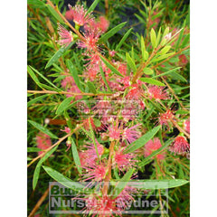 Callistemon Candy Pink 200Mm Pot Bottlebrush Plants