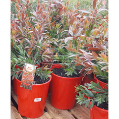 Callistemon Red Rocket 200Mm Pots Default Type