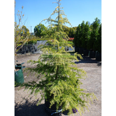 Cedrus Deodara 45Lt Himalayan cedar Advanced Plant Landscape Supplier
