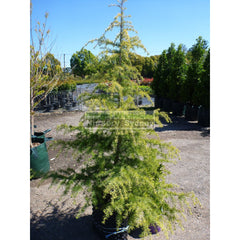 Cedrus Deodara 45Lt Himalayan Cedar Advanced Plant Landscape Supplier Default Type