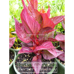 Celosia New Look Red 125Mm Pot Plants