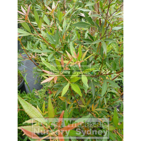 Ceratopetalum Gummiferum Xl 400Mm Pot Alberys Red Plants