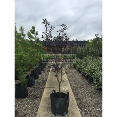 Cherry Plum Prunus Cerasifera 45Lt Default Type