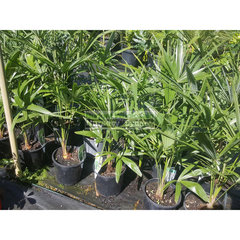 Chinese Windmill Palm 200Mm Pot Trachycarpus Fortunei Default Type