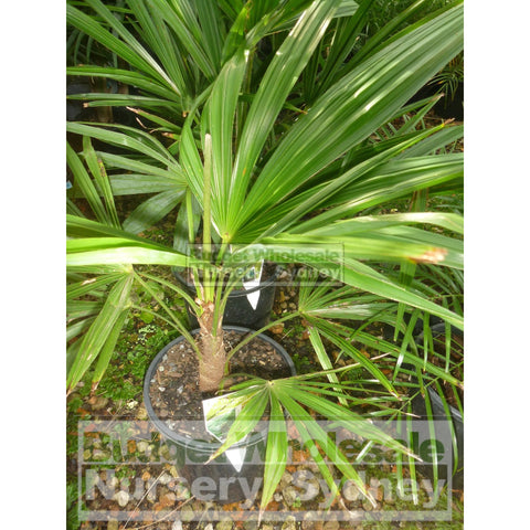Chinese Windmill Palm 200mm Pot trachycarpus fortunei