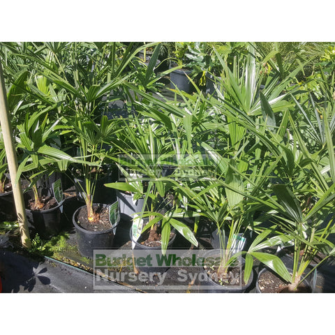 Chinese Windmill Palm Large 300Mm Pot Trachycarpus Fortunei Default Type