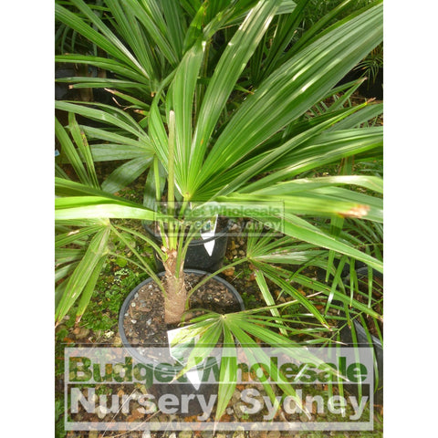 Chinese Windmill Palm Large 300mm Pot trachycarpus fortunei