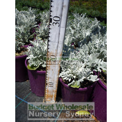 Cineraria Silver Dust 140Mm Pot Plants