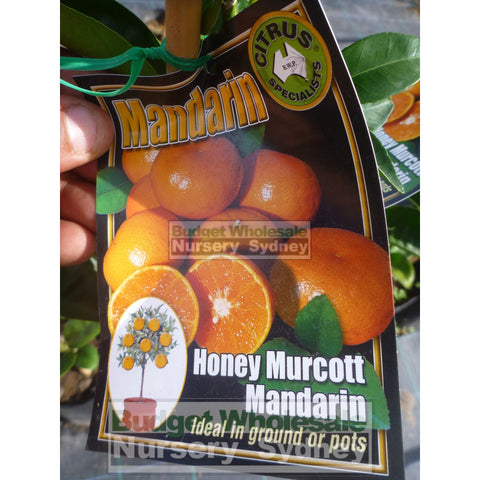 Citrus Mandarin Tree cv Honey Murcott 5ltr