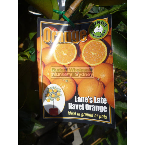 Citrus Orange Tree Cv Lanes Late Navel 5Ltr Default Type