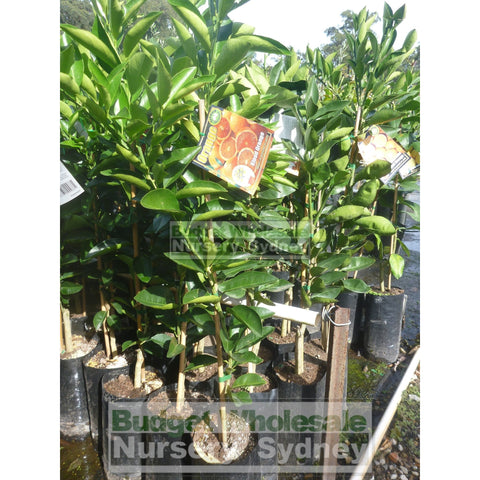 Citrus Orange Tree cv Lanes Late Navel 5ltr