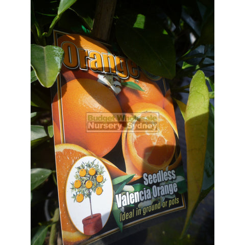 Citrus Orange Tree cv Seedless Valencia 5ltr