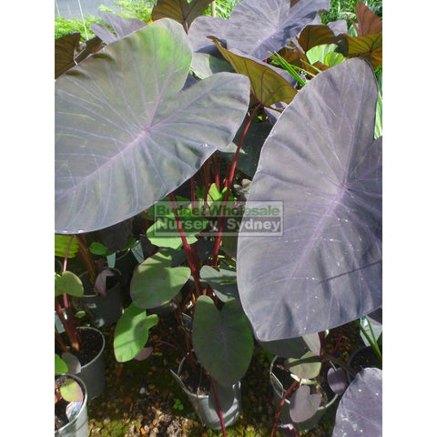 Colocasia esculenta Black Magic (Taro) 140MM