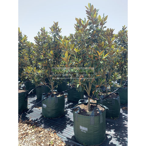 Copy Of Magnolia Little Gem Super Advanced 150L Pot/bag Plants
