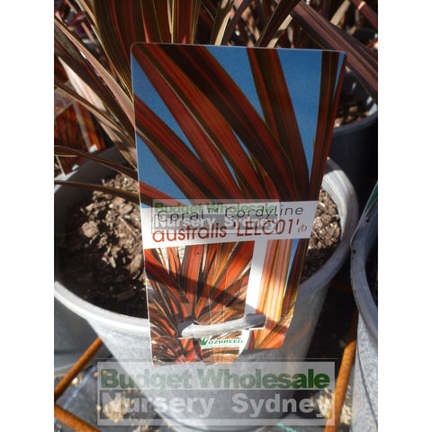 Cordyline australis Coral NZ Cabbage Tree 200mm Pot