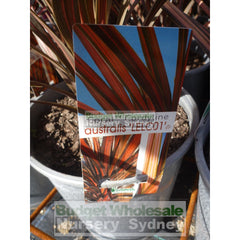 Cordyline Australis Coral Nz Cabbage Tree 200Mm Pot Default Type