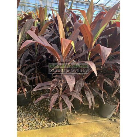 Cordyline Black Magic 200mm